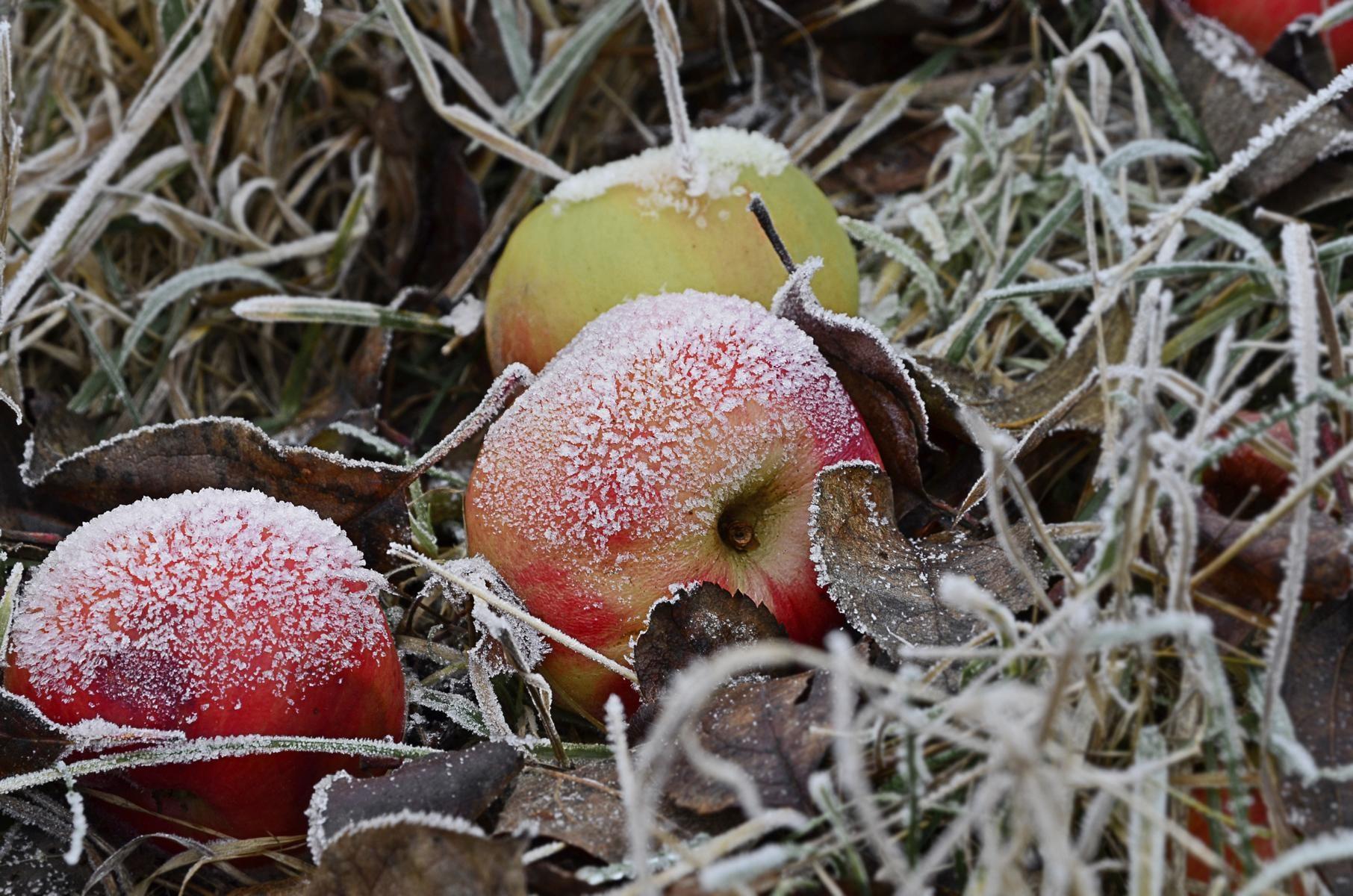 Vereiste Äpfel