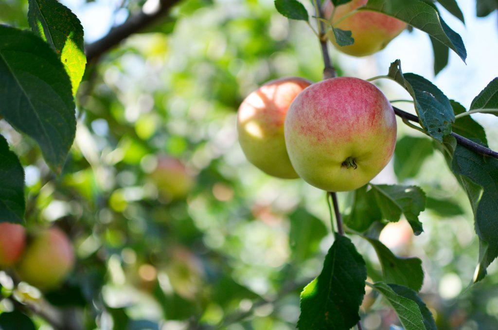 Obstbau Wenz Äpfel