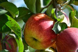 Äpfel bei Obstbau Wenz